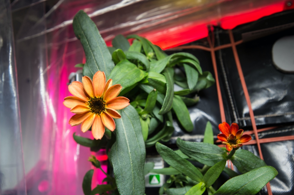First Flower Grown in Space Station's Veggie Facility
